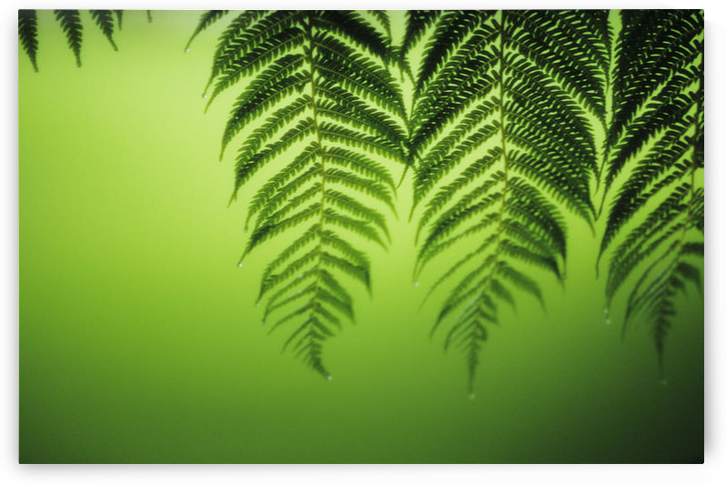 Hawaii, Lanai, Tree Ferns On Green Background. by PacificStock