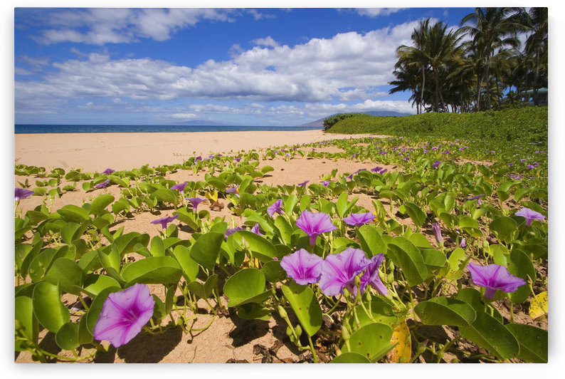Hawaii, Maui, Kihei, Keawakapu Beach, Green Leafy Vines With Pink Flowers On Shore. by PacificStock