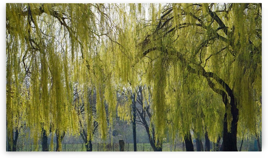 weeping willow by Babett-s Bildergalerie