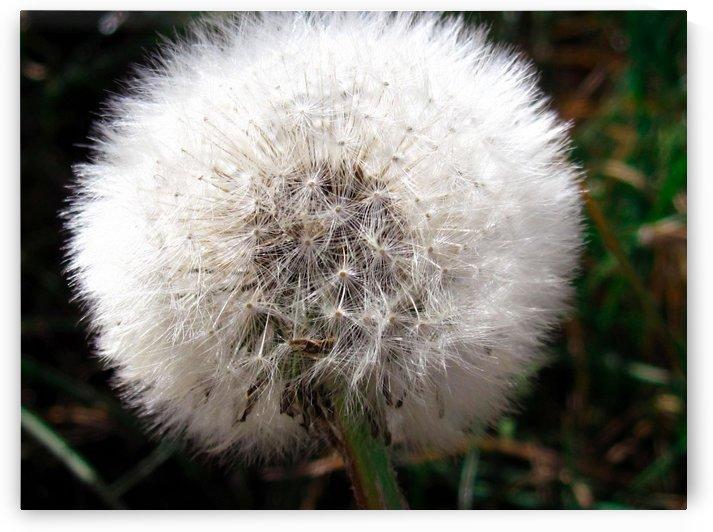 Pusteblume with delicate seed-buds by Babett-s Bildergalerie