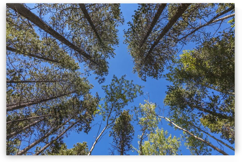 Tree Tops Near Grassi Lake Trail, Alberta by Palwall Photoart