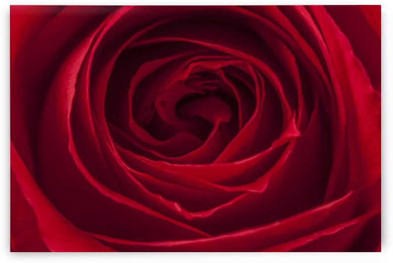 Rose by Palwall Photoart