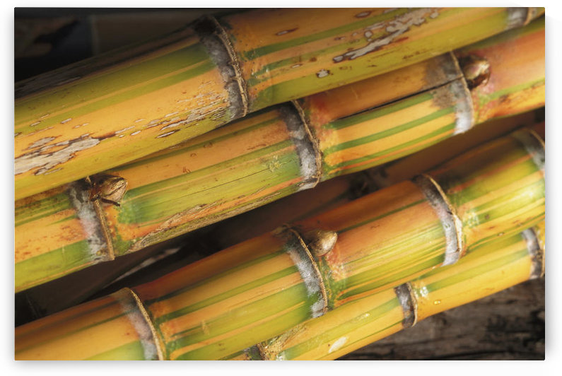 Close-Up Detail Of Mature Sugar Cane Stalks by PacificStock