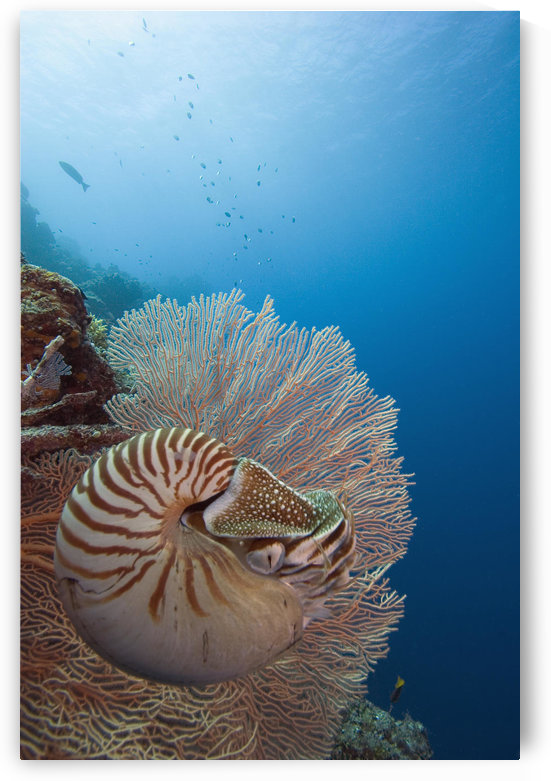 Micronesia, Palau, Chambered Nautilus (Nautilus Pompilius) Floating Among Coral. by PacificStock
