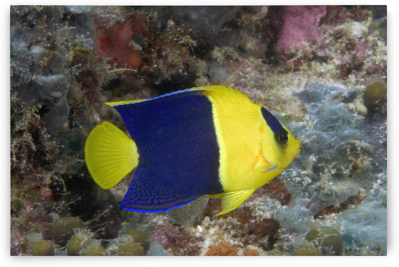 Malaysia, The Bicolor Angelfish (Centropyge Bicolor) by PacificStock