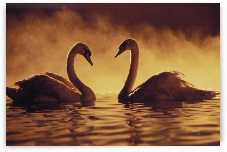 Pair Of African Swans Swimming Toward Each Other, Misty Romantic by PacificStock