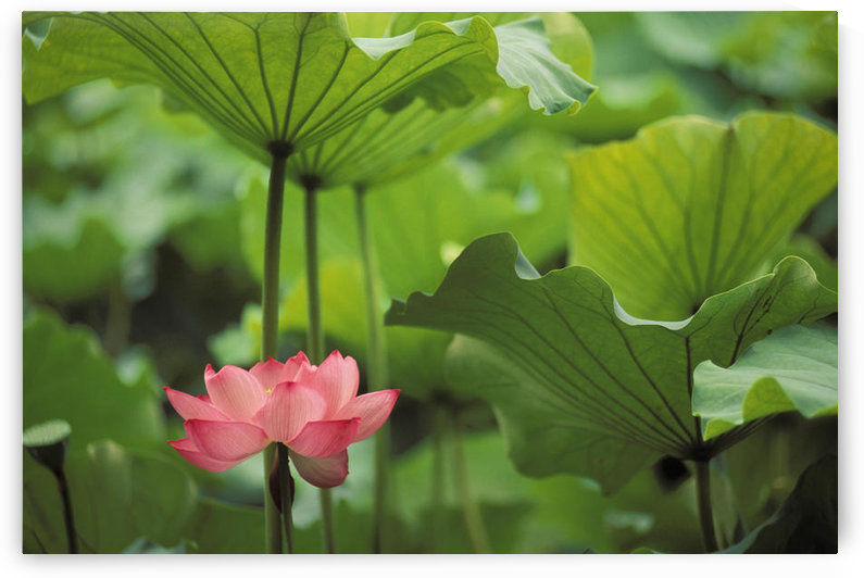 Hawaii, Single Bright Pink, Full Lotus Blossom Amongst Green Leaf And Stems. by PacificStock