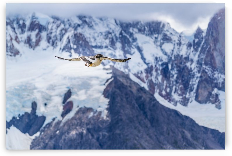 Austral Patagonian Bird Flying by Daniel Ferreia Leites Ciccarino