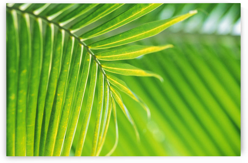 Thailand, Nong Bua Lumphu, Close-Up Of Palm Leaves by PacificStock