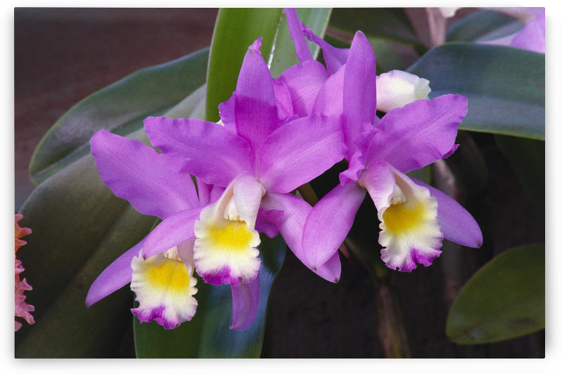 Hawaii, Cluster Of Pink Cattleya Orchids. by PacificStock