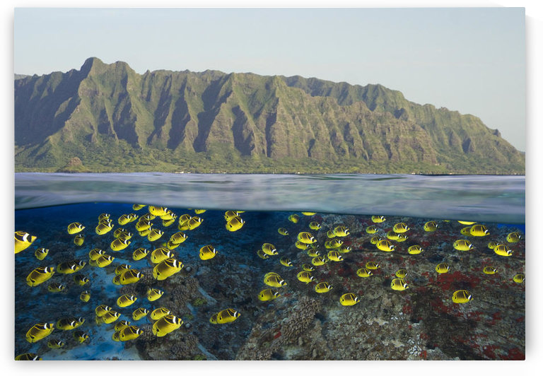 [Dc] Hawaii, Oahu, Split View Of A School Of Racoon Butterflyfish (Chaetodon Lunula) Along Reef And Mountain Range. by PacificStock