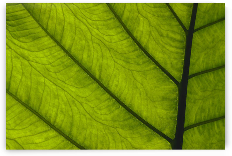 Extreme Close-Up Of Green Leaf, Main Stem With Veins Running Through. by PacificStock