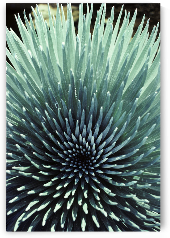 Hawaii, Maui, Haleakala National Park, Close Up Of The Rosette Of A Silversword Or Ahinahina. by PacificStock
