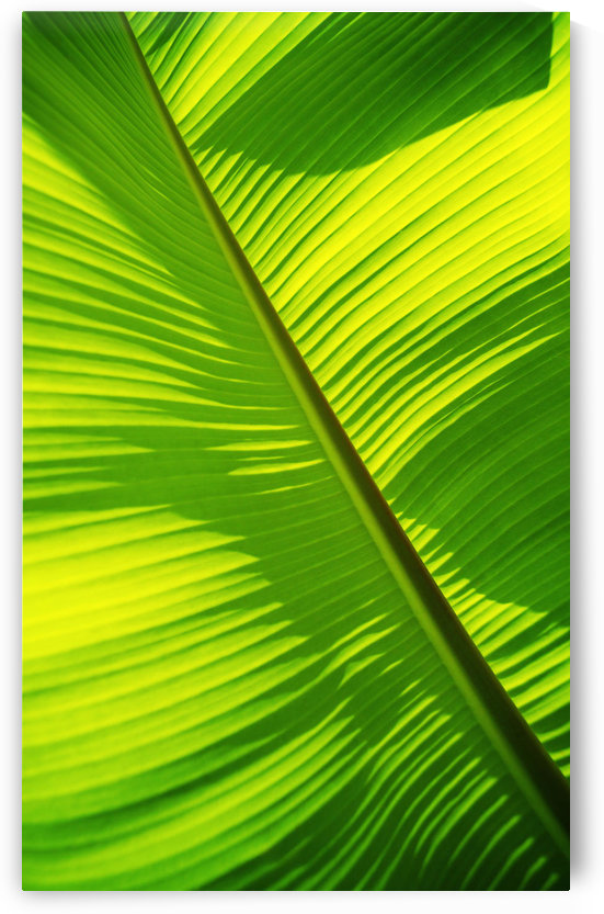 Close-Up Of Bright Green Banana Leaf. Pattern Forms Off The Main Rib. by PacificStock