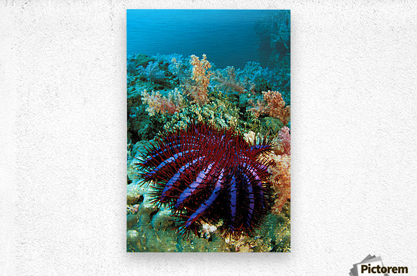 Thailand, Reef Scene With Crown-Of-Thorns Starfish (Acanthaster Planci).  Metal print