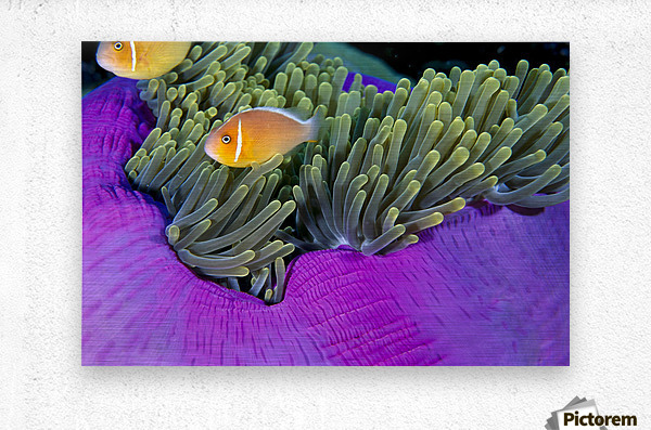 Palau, Anemonefish In Pink Anemone (Amphiprion Perideraion) B1952  Metal print