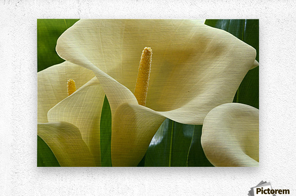 Hawaii, Big Island, Volcano, Calla Lilies, Close-Up B1587  Metal print