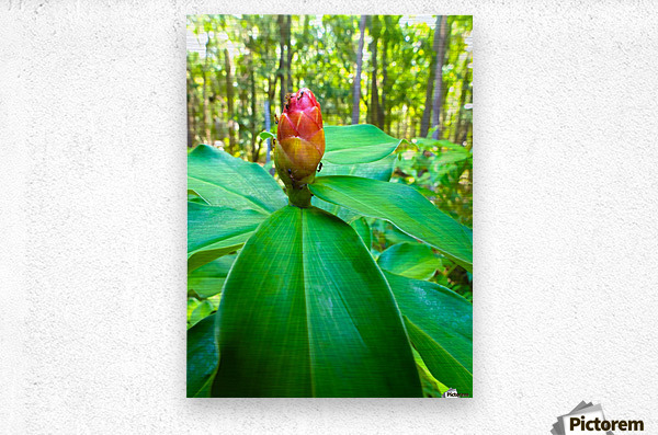 HDR Ants on a ginger flower  Metal print