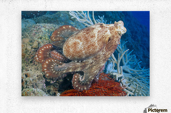 Fiji, Day Octopus (Octopus Cyanea) Close-Up, Curled Up Sitting On Coral  Metal print