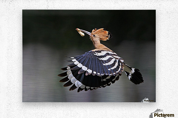 Hoopoe,Feeding..  Metal print