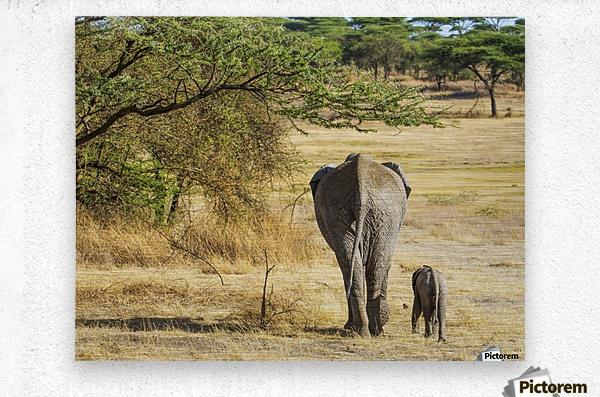 An African Elephant with it's young; Tanzania  Metal print