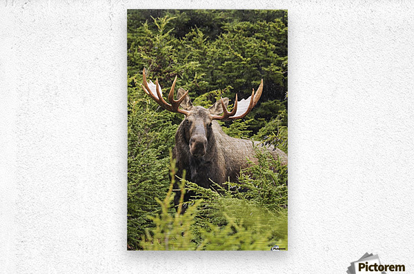 Bull moose (alces alces) in rutting period, Powerline Pass, South-central Alaska; Alaska, United States of America  Metal print
