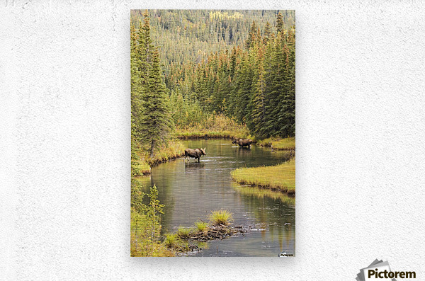 Bull and cow moose (alces alces) feeding in a shallow pond south of Cantwell, photo taken from Parks Highway common moose habitat; Alaska, United States of America  Metal print