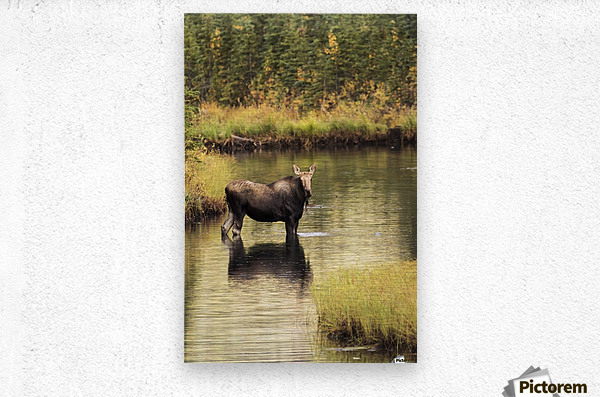 Moose (alces alces) feeding in a shallow pond south of Cantwell, photo taken from Parks Highway common moose habitat; Alaska, United States of America  Metal print