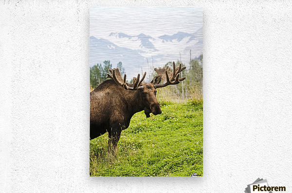 Bull moose (alces alces) with antlers in velvet, captive in Alaska Wildlife Conservation Center, South-central Alaska; Portage, Alaska, United States of America  Metal print