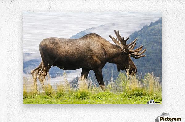 Bull moose (alces alces) with antlers in velvet, captive in Alaska Wildlife Conservation Center, South-central Alaska; Portage, Alaska, United States of America  Metal print
