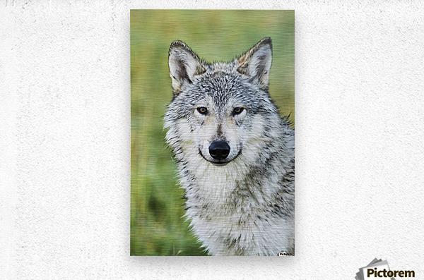 Immature female wolf (canis lupus), captive at the Alaska Wildlife Conservation Center, South-central Alaska; Portage, Alaska, United States of America  Metal print