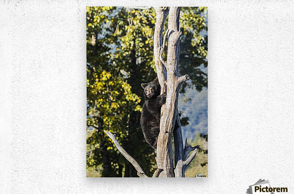 Black bear cub (ursus americanus) climbing a tree, Alaska Wildlife Conservation Center, South-central Alaska; Portage, Alaska, United States of America  Metal print
