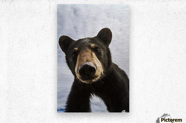 Black bear cub (ursus americanus), captive in Alaska Wildlife Conservation Center, South-central Alaska; Portage, Alaska, United States of America  Metal print