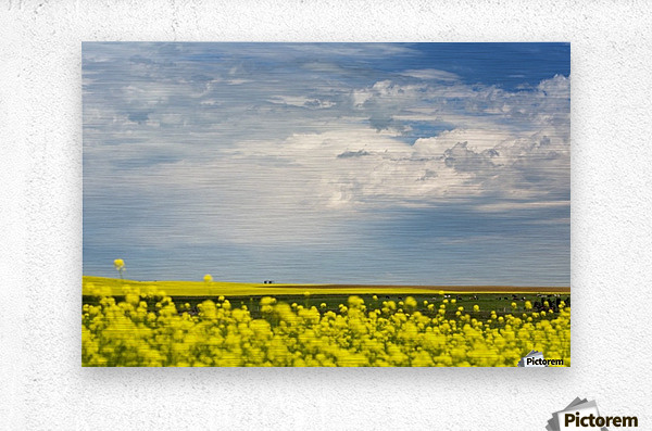 Flowering canola field with dark storm clouds and cattle grazing; Nanton, Alberta, Canada  Metal print