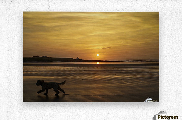 A dog runs across a wet beach with the golden sun setting in an orange sky along the coast and Bamburgh Castle in the distance; Bamburgh, Northumberland, England  Metal print