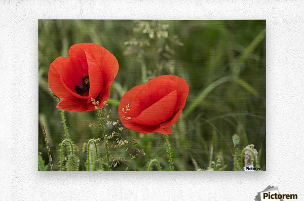 Close up of red poppies blossoming; South Shields, Tyne and Wear, England  Metal print