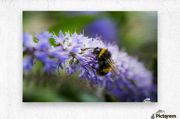 A bee resting on a purple flower; South Shields, Tyne and Wear, England  Metal print