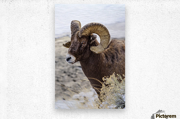 Close up of Bighorn ram (ovis canadensis) with broomed (splintered) horn tips resulting from butting heads with other rams, Shoshone National Forest; Wyoming, United States of America  Metal print