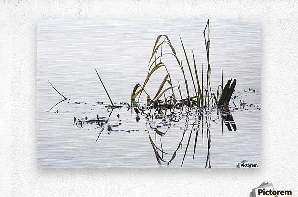 Grass grows in Coffenbury Lake; Hammond, Oregon, United States of America  Metal print