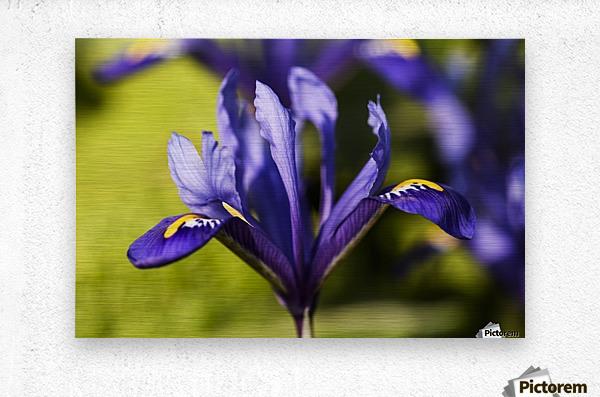Dwarf Iris blooms in February; Oregon, United States of America  Metal print