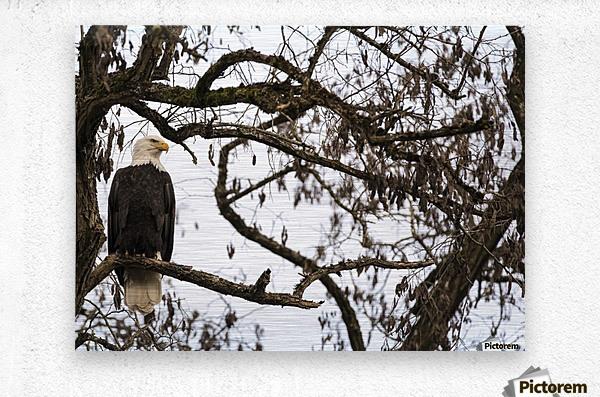 Bald Eagle (Haliaeetus leucocephalus) perched in a tree, Cowichan Bay; British Columbia, Canada  Metal print