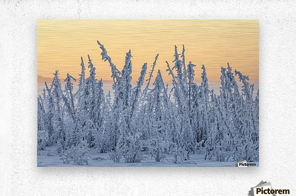 Hoarfrost covers black spruce trees as ground fog and dusk descend on Palmer Hay Flats in South-central Alaska in winter; Alaska, United States of America  Metal print