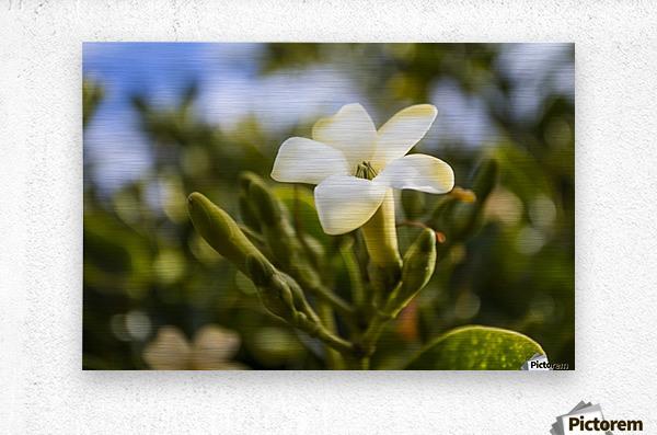 Close-up of puakenikeni flower; Lanai, Hawaii, United States of America  Metal print