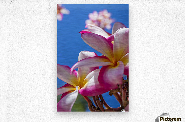 Close-up of pink plumeria flowers and blue sky; Lanai, Hawaii, United States of America  Metal print