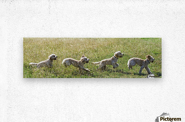 Composite of a blond cockapoo running across a grass field; South Shields, Tyne and Wear, England  Metal print