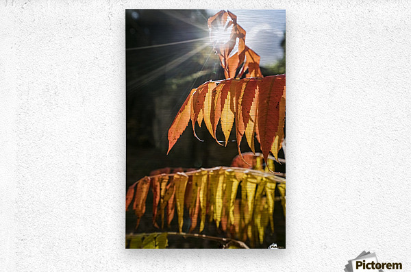 Brown leaves drooping from their branches backlit by the sunlight; North Yorkshire, England  Metal print
