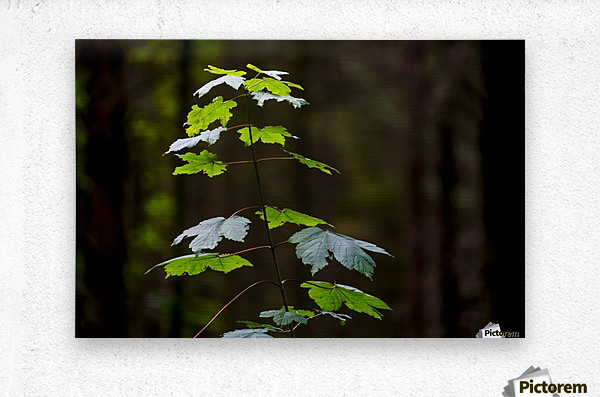 A new green plant grows up towards the sunlight; North Yorkshire, England  Metal print