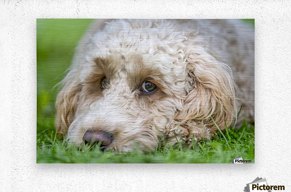 Close-up of the face of a blond cockapoo resting on the grass; North Yorkshire, England  Metal print