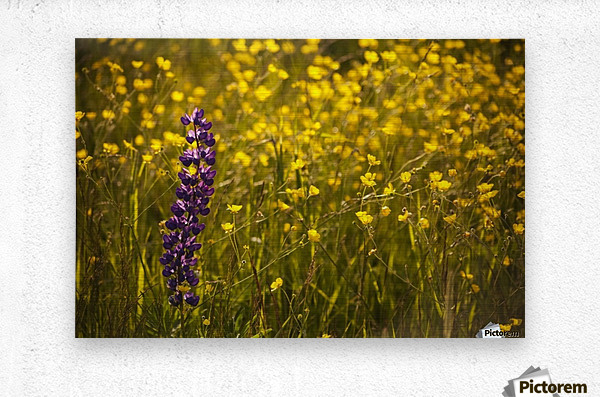 Garden lupin (Lupinus polyphyllus) and buttercups (Ranunculus) in a field at sunset; Fall River, Nova Scotia, Canada  Metal print