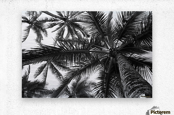 Brushed metal print low angle view of coconut palm trees in black and white honolulu oahu